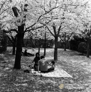 芦屋桜.jpg