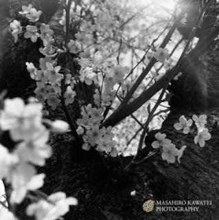 芦屋桜2.jpg